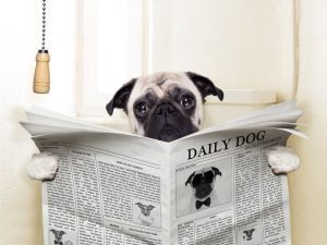 image: 31444406 - pug dog sitting on toilet and reading magazine having a break
